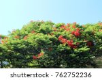 Small photo of Beautiful delonix regia tree (flamboyant tree) with flowers growing in the garden on sunny summer day. Natural floral background.