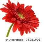 Red Gerbera Blossom Isolated  ...