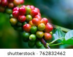 coffee beans ripening on coffee ... | Shutterstock . vector #762832462