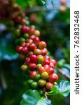 coffee beans ripening on coffee ... | Shutterstock . vector #762832468