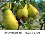 Close Up Of Big Ripe Pears...