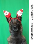 Small photo of portrait of a malinois belgian shepherd dog with a touching look wearing a red and white christmas diadem on a green background