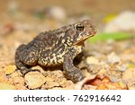 the american toad  bufo... | Shutterstock . vector #762916642