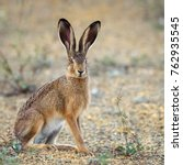 Stock photo european hare stands on the ground and looking at the camera lepus europaeus 762935545