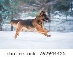 Stock photo german shepherd dog running in winter 762944425