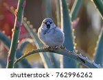bird sparrow on succulents at... | Shutterstock . vector #762996262