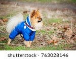 the serious spitz is staying in ... | Shutterstock . vector #763028146