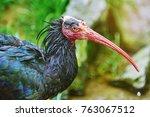 Northern Bald Ibis or Waldrapp (Geronticus Mremita)