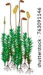 plants of common haircap moss... | Shutterstock .eps vector #763091146