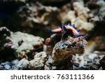 Small photo of A starfish on a coral reef shows its ambulacral legs. Protoreaster Nodosus.