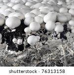White Mushrooms In Nursery
