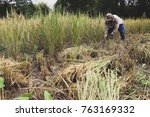 thai farmer is harvesting... | Shutterstock . vector #763169332