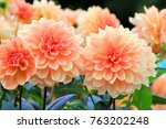 Flower Garden Of Dahlia Of...
