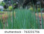close up spring onion in the... | Shutterstock . vector #763231756