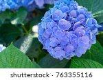 blue and violet hortensia...   Shutterstock . vector #763355116