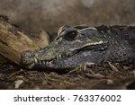 Small photo of Dwarf crocodile (Osteolaemus tetraspis), also known as the African dwarf crocodile.