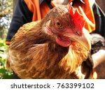 indian chicken looking... | Shutterstock . vector #763399102