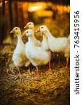 Five Young Goose Together Sit...