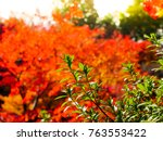 red maple leaves in autumn in... | Shutterstock . vector #763553422