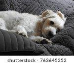Dog white Varmdo