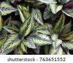close up of calathea bella | Shutterstock . vector #763651552