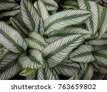 bright green leaves with white... | Shutterstock . vector #763659802
