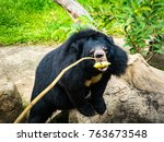Asian Black Bear Feeding Zoo - Fine Art prints