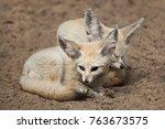 fennec foxes  vulpes zerda .... | Shutterstock . vector #763673575
