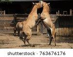 przewalski's horse  equus ferus ... | Shutterstock . vector #763676176