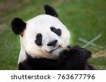 giant panda  ailuropoda...