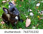 young french bulldog looking up ... | Shutterstock . vector #763731232