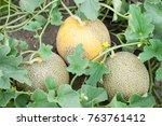 Part Of Melon Plant Wit Fruits...