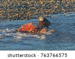 bone buffet   a bald eagle is... | Shutterstock . vector #763766575
