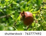 Growing A Pomegranate On The...