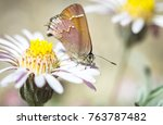 Small photo of A cedar hairstreak butterfly (Callophrys gryneus) on a daisy flower in Oregon