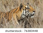 Large male Bengal tiger in the wild sneaking through the grasslands of the Kanha National Park, India - stock photo