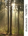 Coniferous Forest Backlit By...