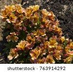 dazzling princess lilies ... | Shutterstock . vector #763914292