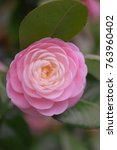 Small photo of Pink camella with lots of petals