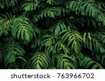 green leaves of monstera... | Shutterstock . vector #763966702