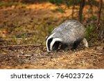 eurasian badger   meles meles   ... | Shutterstock . vector #764023726