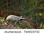 eurasian badger   meles meles   ... | Shutterstock . vector #764023732
