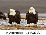 Alaskan Bald Eagles On Log With ...