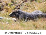 Alpine Marmot In The Grand...