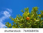Blue Sky Calamondin Tree View