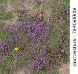 Purple Saxifrage  Saxifraga...