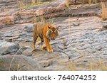 indian tiger  wild dangerous... | Shutterstock . vector #764074252