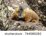Yellow-bellied marmots (Marmota flaviventris) communication. Yellowstone National Park, Wyoming. USA. - stock photo