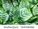 close up dumb cane leaves or... | Shutterstock . vector #764106466