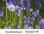 dandelion clock in a field of...